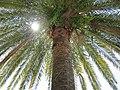 Old Gagra, Abkhazia, Palm, Sun, Гагра, Абхазия.jpg