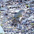 Olive Sparrow (26344099356).jpg