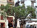 Olivera de la plaça del doctor Collado, València.jpg