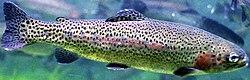 external image 250px-Oncorhynchus_mykiss.jpg