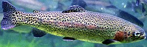 English: Rainbow Trout (Oncorhynchus mykiss)