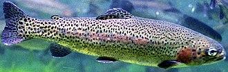 Lake Atalanta - Rainbow trout are stocked in the winter months at Lake Atalanta, Arkansas.