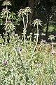 Onopordum acanthium-2727.jpg