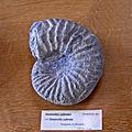 Oosterellidae - Oosterella cultratus.jpg