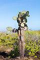 Opuntia echios, isla Santa Cruz, islas Galápagos, Ecuador, 2015-07-26, DD 45.JPG