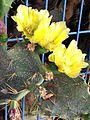 Opuntia ficus-indica IMG 6017.jpg