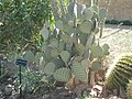 Opuntia microdasys and Mammillaria pseudoperbella at the Springs Preserve, Las Vegas, Nevada, United States.jpg