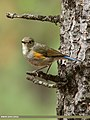 Orange-flanked Bush Robin (Tarsiger cyanurus) (27967386084).jpg