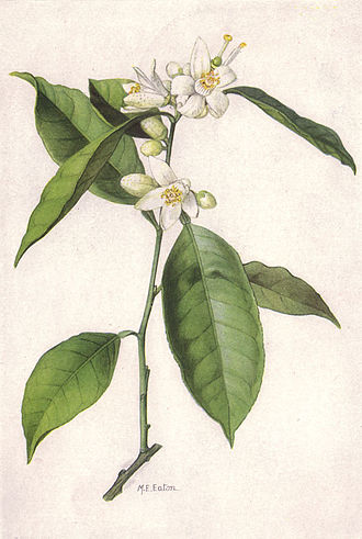 Orange blossom - Citrus sinensis Osbeck painting by Mary E. Eaton from a 1917 issue of National Geographic