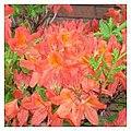 Orange Rhododendron (8398993119).jpg
