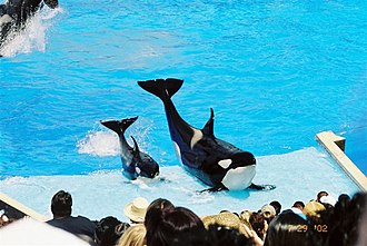 Killer whale attack - Kasatka and her son Nakai posing during a show in 2002.
