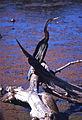 Oriental Darter (Anhinga melanogaster) (20408591041).jpg