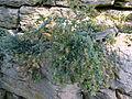 Origanum dictamnus - Bergianska trädgården - Stockholm, Sweden - DSC00326.JPG