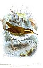 Рисунок короткохвостой птицы с коричневой спиной, белым низом и охристой бровью.