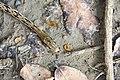 Orthriophis taeniurus friesi (29859622020).jpg