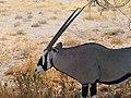 Oryx (37537762054).jpg