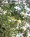 Osmanthus heterophyllus s3.jpg