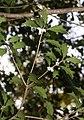 Osmanthus heterophyllus s4.jpg