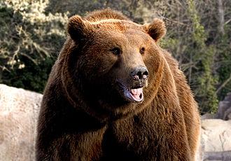 Cantabrian brown bear - Cantabrian brown bear at the Madrid Zoo