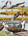 Osprey From The Crossley ID Guide Eastern Birds.jpg