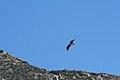 Osprey above El Capitan reservoir.jpg