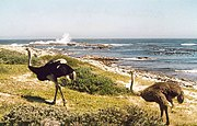 Wild ostriches at the Cape of Good Hope, South Africa