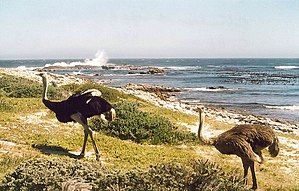 Ostriches at the Cape of Good Hope, South Africa
