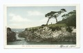 Ostrich Tree on 17 Mile Drive, Monterey, Calif (NYPL b12647398-66658).tiff