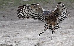 Owl in Flight.jpg