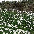 Oxeye daisy (Leucanthemum vulgare) - panoramio.jpg