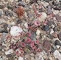 Oxytheca perfoliata 7.jpg