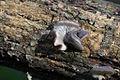Oyster Mushroom - Pleurotus sp. (7174917115).jpg