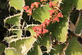 Pájara Morro Jable - Avenida del Saladar-FV-2 - Euphorbia cooperi 02 ies.jpg