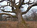 Péterhida, óriási tölgyfa.jpg