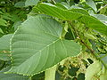 P1000358 Tilia nobilis (Tiliaceae) Leaf.JPG