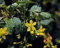 P20110315-0021--Ribes aureum (16492885907).jpg