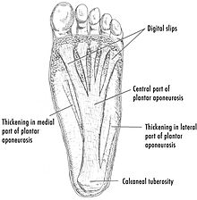 Drawing of the plantar fascia of the foot 72c50c2b01a