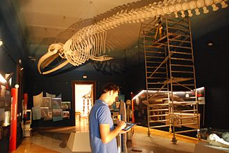 3D scanner - 3D scanning of a fin whale skeleton in the Natural History Museum of Slovenia (August 2013)