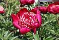 Paeonia lactiflora Nippon Beauty 0zz.jpg