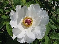 Paeonia suffruticosa cv7
