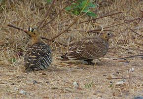 PaintedSandgrouse.jpg
