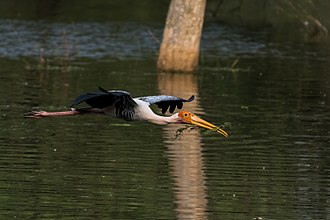 Painted stork - Painted stork carrying nesting material