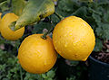 Pair of lemons-cropped.jpg