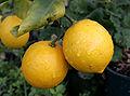 Pair of lemons-cropped.jpg