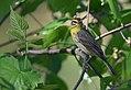 Palm Warbler (34191891461).jpg