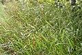 Panicum virgatum Shenandoah 10zz.jpg
