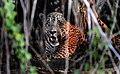 Pantanal jaguar male JF.jpg