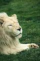 Panthera leo at the Philadelphia Zoo 001.jpg