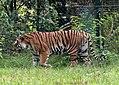 Panthera tigris - Serengeti-Park Hodenhagen 2017 01.jpg