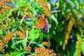 Paon-du-jour sur wisteria.jpg